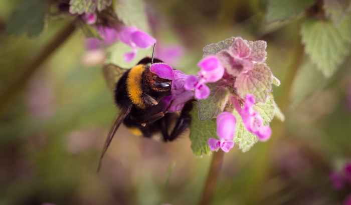bumble bee on pink floower
